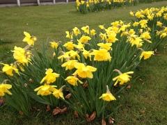 billede af påskeliljer